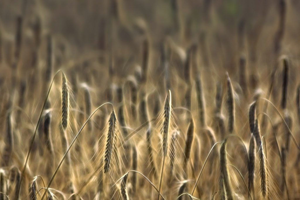 wheat, cereals, cultivation